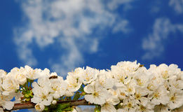 Blossomed branch. With bee in the spring royalty free stock photo