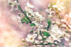 Blossomed branch of tree Stock Photo