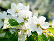Blossomed cherry. Stock Photos