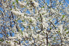 Blossomed cherry Royalty Free Stock Photography