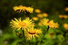 Blossomed dandelion flowers Stock Photo