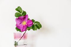 Blossomed dog rose flower  in a glass vase Stock Photography