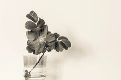 Blossomed dog rose in a glass vase of beige tone Stock Photography
