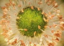 Blossomed flower. Macro of blossomed garden flower Royalty Free Stock Photos