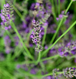 blossomed flower of lavender Royalty Free Stock Image