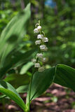Blossomed fragrant white lilies. Convallaria majalis Royalty Free Stock Photos