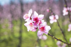 Blossomed fruit garden Royalty Free Stock Photo
