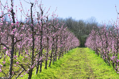 Blossomed fruit garden royalty free stock images