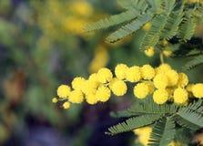 Желтый цветок мимозы blossomed в предыдущем символе весны inte стоковое фото