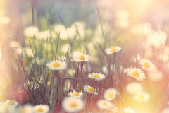 Blossomed meadow - flowering daisy flower in spring Royalty Free Stock Images