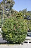 Blossomed Oleander shrub from Athens in Greece stock photography