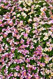 Blossomed Pink Flowers with green patch royalty free stock photo