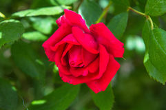Blossomed red rose surrounded by green leaves Stock Image