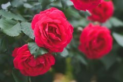 Blossomed roses. Red, blossomed roses in the summer. Retro styled photo Royalty Free Stock Photos