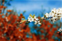 Blossomed sprig Stock Image