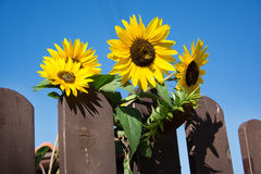 Blossomed sunflower with bees Royalty Free Stock Photos