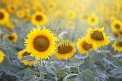 Blossomed sunflower Royalty Free Stock Photo