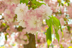 Blossomed tree branch with pink blossoms and green leaves Stock Photography