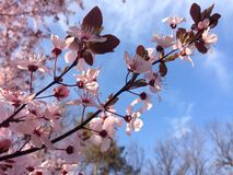 Blossomed tree branch with pink blossoms Royalty Free Stock Images
