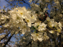Blossomed tree branch with white blossom Royalty Free Stock Photography