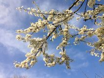 Blossomed tree branch with white blossoms and a bright blue sky Stock Images