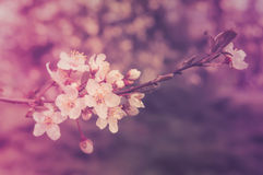 Blossomed tree branch with white flowers Royalty Free Stock Images