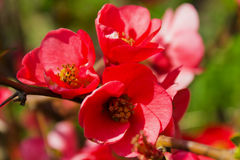 Blossomed tree - Chaenomeles japonica Stock Photo