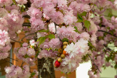 Blossomed tree with pink blossoms and bracelet in it Royalty Free Stock Images