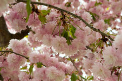Blossomed tree with pink blossoms Royalty Free Stock Image