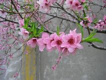 Blossomed tree with pink blossoms and green leaves Stock Images