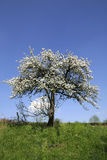 Blossomed tree in spring Stock Photo
