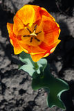 Blossomed tulip Stock Photos