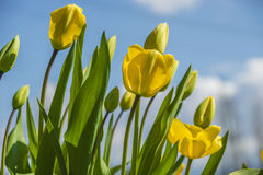 Blossomed yellow tulips Royalty Free Stock Image