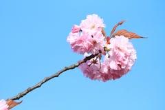 Blossomes d'un arbre Images libres de droits