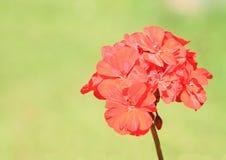 Blossomes of pelargoniums Stock Photo