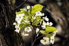 Blossomes a prumo Fotos de Stock