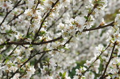 Blossomig white cherry tree Royalty Free Stock Image