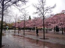 Blossomin-Bäume im Vorfrühling in Stockholm Lizenzfreies Stockfoto