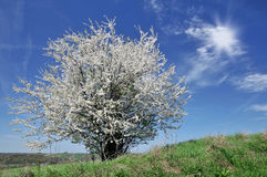 Blossomin tree Stock Photography