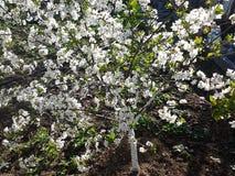 Blossoming  ½ Ñ ² ишР Ð ‰ Ð°Ñ ÑƒÑ '² ÐΜÑ вишни ЦРСтоковые Фото