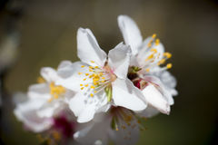 blossoming абрикоса стоковая фотография