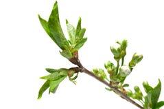 blossoming белизна сирени листьев бутонов Стоковые Изображения