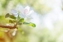 Blossoming белое дерево против детенышей весны цветка принципиальной схемы предпосылки белых желтых Экземпляр космоса Стоковое Фото