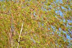 Blossoming березы povisly (бородавчатый) (Береза повислая Roth) Стоковое Изображение