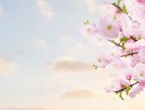 Blossoming белые цветки дерева Стоковая Фотография RF