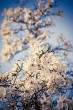 Blossoming белые цветки над голубым небом Стоковое Изображение RF