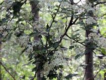 Blossoming боярышник леса июнь Чаща леса стоковое фото rf