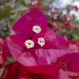 Blossoming бугинвилия всегда красива, оно определенно заслужила название южной красоты стоковые изображения