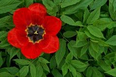 Blossoming бутон красного тюльпана среди зеленой травы Стоковое фото RF