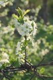 blossoming вал весны вишни ветви стоковые изображения